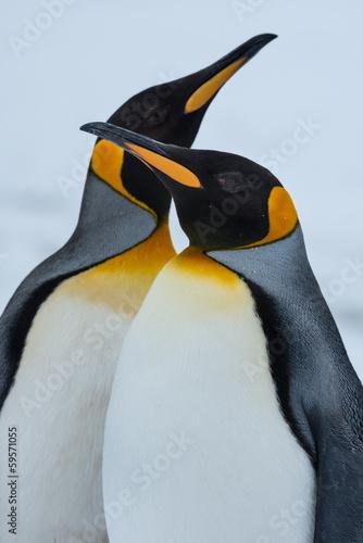 Foto auf Leinwand Antarktis King Penguin Couple in love