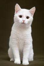 Beautiful White Cat With Yello...