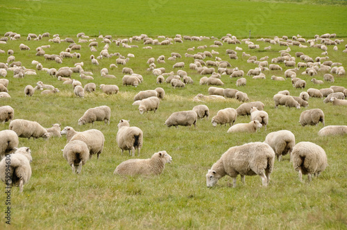 Tuinposter Schapen Flock of sheep in New Zealand