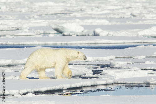 Poster Polar bear Polar bear at Svalbard