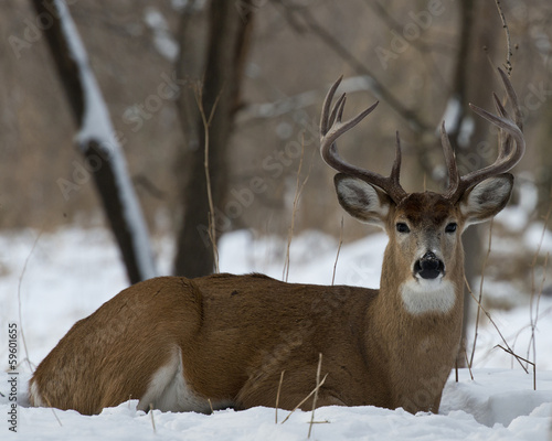 In de dag Hert Whitetail Deer laying in the snow