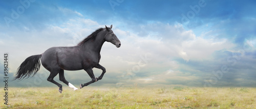 Fototapeta Black horse runs full gallop on field