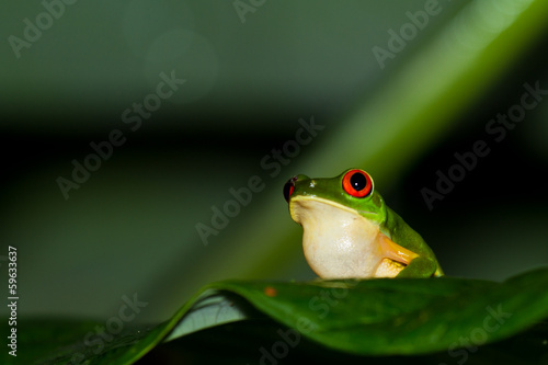 Foto op Aluminium Kikker red eyes tree frog