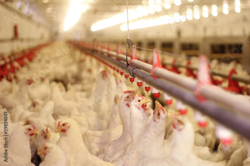 Chicken Farm, Poultry Canvas Print