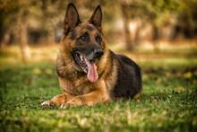 German Shepherd Dog Laying On Grass