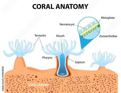 Coral Anatomy. Vector diagram Canvas Print
