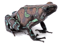 Golden Poison Dart Frog