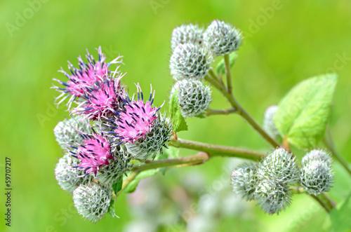 Foto Flowering Great Burdock (Arctium lappa)