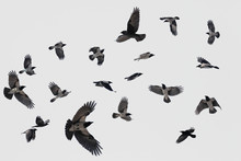 Gray Flock Of Crows In Flight ...