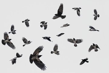 gray flock of crows in flight on background