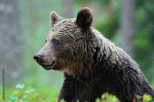 Fotografie, Obraz  orso bruno della finlandia