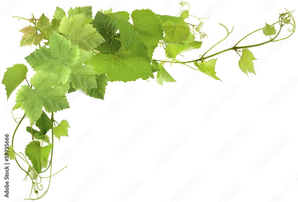 Fototapeta feuilles de vigne