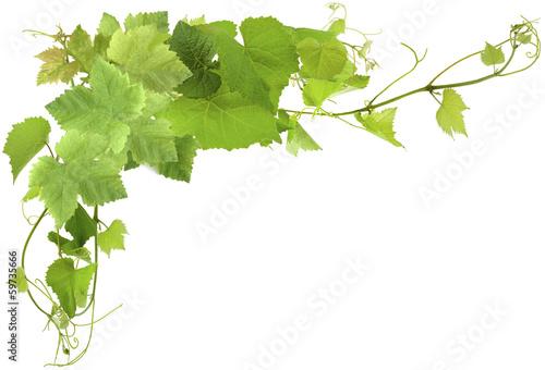 Obraz na plátně feuilles de vigne
