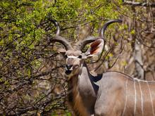 Eating Kudu Antelope