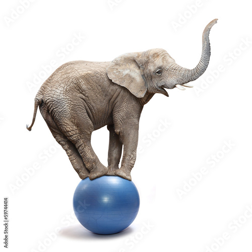 Photo  African elephant (Loxodonta africana) balancing on a blue ball.
