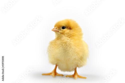Fototapeta kurczak obraz