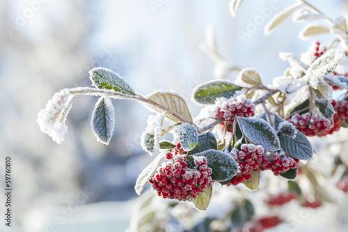 Fotografie, Obraz  snowy rowan berries