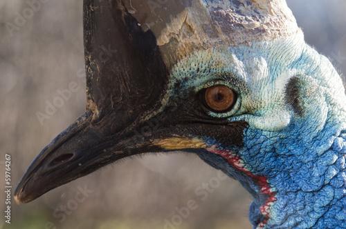 Foto op Aluminium Draw Southern cassowary