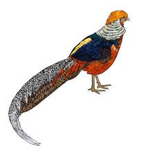 Golden Pheasant