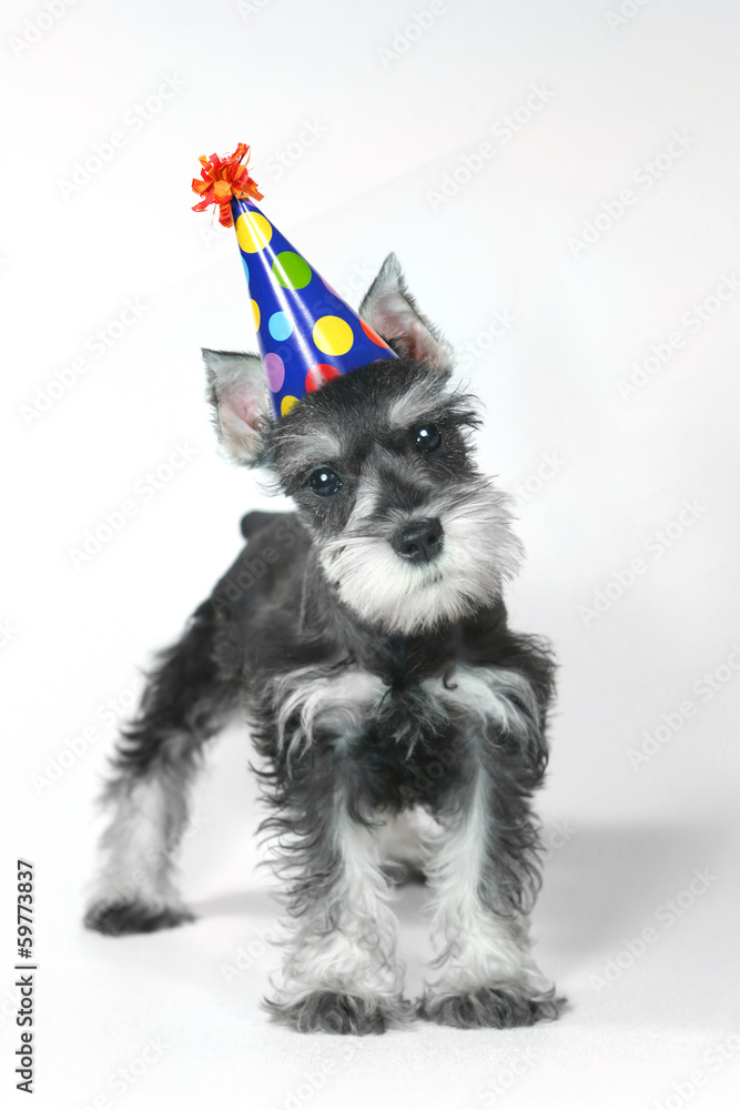 Birthday Hat Wearing Miniature Schnauzer Puppy Dog On White Foto