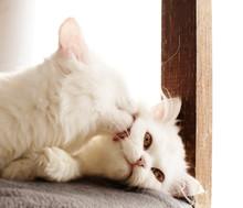 Cat Licking Kitten