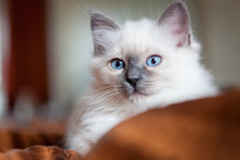 Sacred Birman Kitty