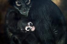 Geoffroy's Spider Monkey Baby