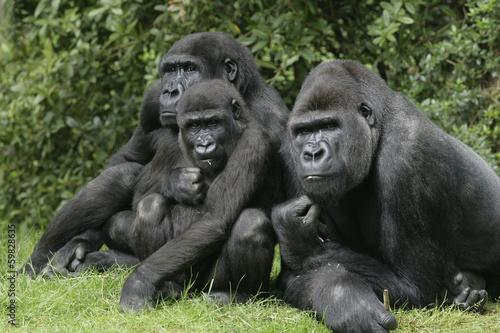Obraz na plátně  Gorily nížinné, Gorilla gorilla