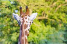 Giraffe Back Head Look - Wildlife Background