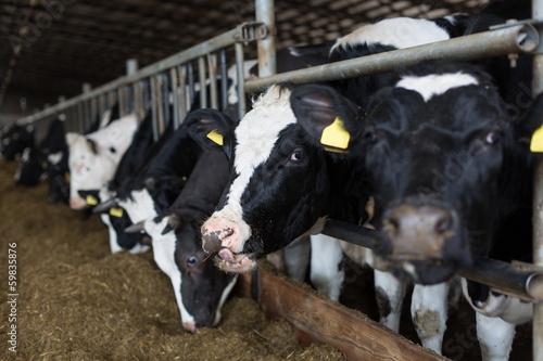 Staande foto Koe cows in stable peek through fences and eating straw