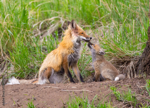 Photo  Red Fox Family - Yellowstone National Park