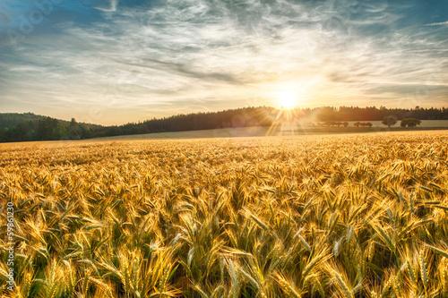 Tableau sur Toile Barley at sunset