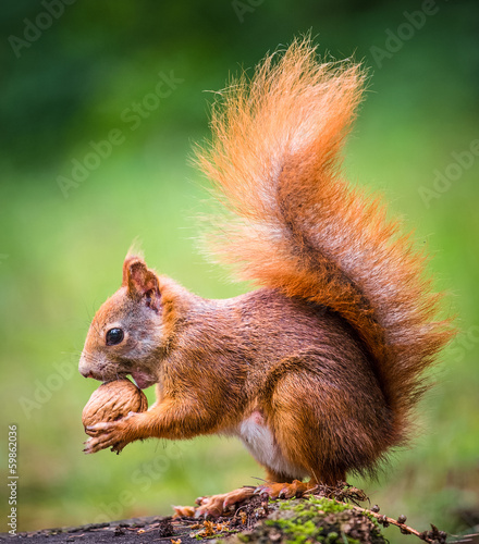 Staande foto Eekhoorn squirrel eats a nut