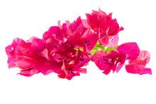 Flowering Bougainvillea