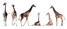 Set Of Few Giraffes