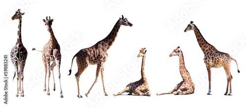Photo Set of few giraffes