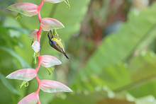 Sunbird Bird Phuket Province Thailand