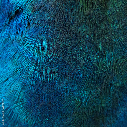 Feathers of a bird (peacock) Wall mural