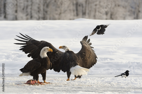 Poster Aigle Bald Eagles