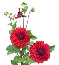 Red Dahlias Plant