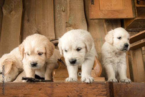 Fototapety, obrazy: Carpenter Puppies