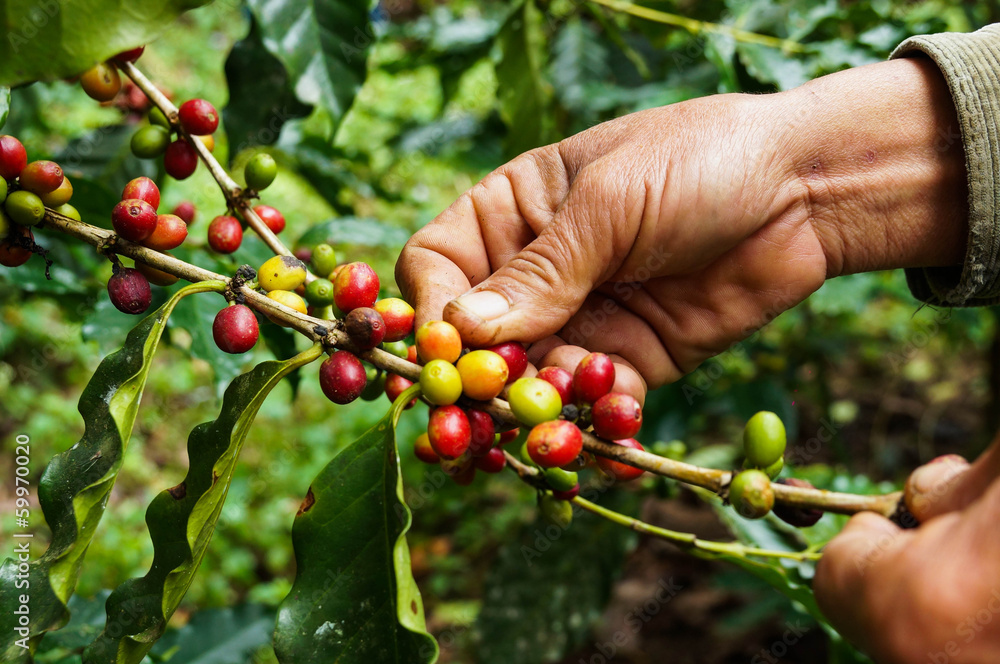 Fototapety, obrazy: Picking coffee