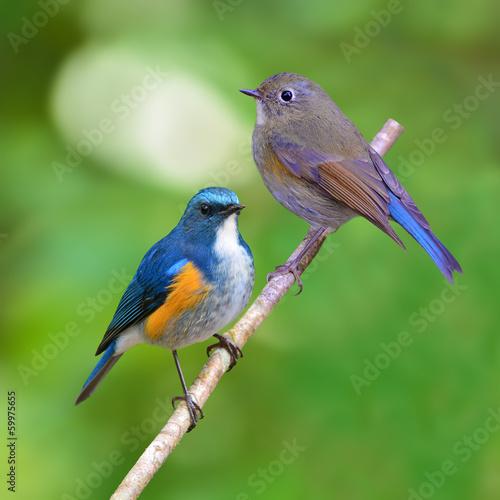 Himalayan Bluetail bird Canvas Print