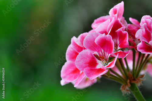Photo Red geranium flower