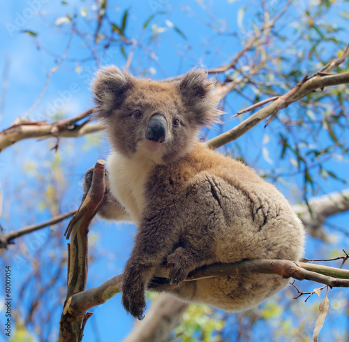Spoed Foto op Canvas Koala Koala in Great Ocean Road, Victoria, Australia