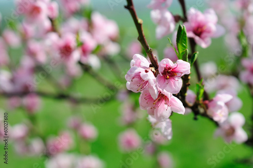Pink almond blossoms плакат