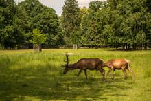 Fallow Deer Grazing On Antlers