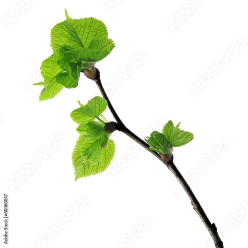 Obraz na płótnie young hazel twig
