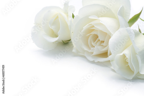 roses blanches Wallpaper Mural