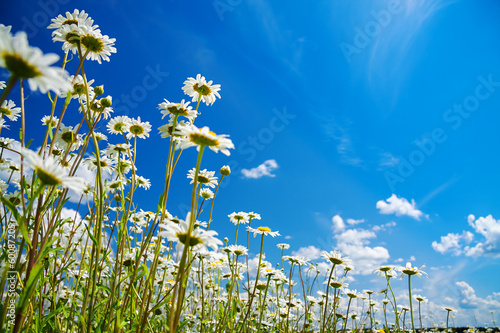 summer rural landscape with a blossoming meadow and the blue sky Fototapeta